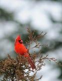 Cardinal du nord images stock