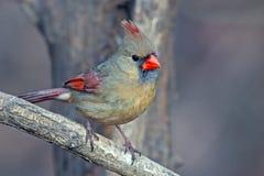 Cardinal du nord photo stock