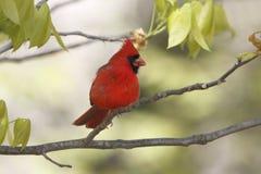 Cardinal du nord masculin photos stock