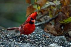 Cardinal du nord masculin Photos libres de droits