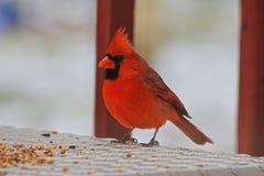 Cardinal Eating. Cardinal watching well enjoying bird seed Royalty Free Stock Image