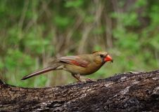 Cardinal eating insect. A cardinal eating an insect, at San Antonio Botanical Gardens in Texas royalty free stock image