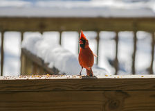 Cardinal Eating. Seed from a rail.1 royalty free stock image