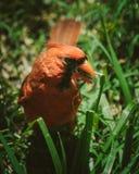Cardinal eating seed. Red cardinal eating seed stock photos