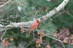 Cardinal Eating Seed Stock Photos