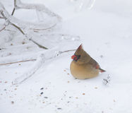 A cardinal eating seeds in the snow Stock Photography