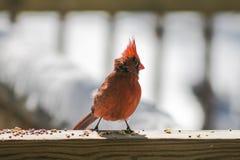 Cardinal eating.(2) Stock Image
