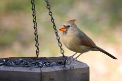 Cardinal eating sunflower seed. Beautiful female cardinal eating sunflower seeds from feeder royalty free stock images