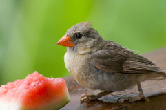 Cardinal eating Watermelon Royalty Free Stock Photography
