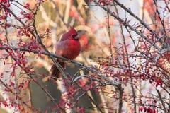 Cardinal en automne Photographie stock libre de droits