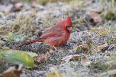 Cardinal en automne Photos stock