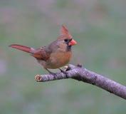 Cardinal en hiver Photographie stock libre de droits