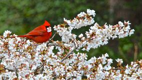Cardinal Enjoying Lunch. Red Cardinal having a lunch of white buds stock images