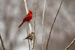 Cardinal et moineau nordiques image libre de droits