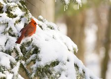 Cardinal in an evergreen Royalty Free Stock Image
