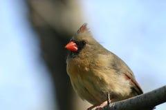 Cardinal féminin images libres de droits
