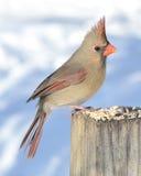 Cardinal féminin Photo libre de droits
