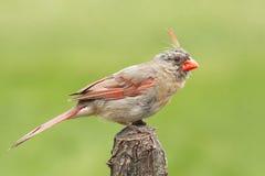Cardinal féminin photos libres de droits