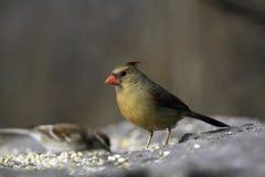 Cardinal féminin Photographie stock libre de droits