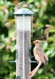 Cardinal féminin alimentant images stock