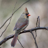 Cardinal féminin (cardinalis de Richmondena) images stock