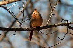 Cardinal féminin dans l'arbre Photographie stock libre de droits