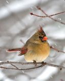 Cardinal féminin dans la neige Photo stock