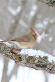 Cardinal féminin sur le branchement d'arbre neigeux Photographie stock libre de droits
