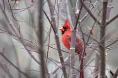 Cardinal in fall royalty free stock photo