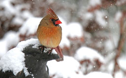 Cardinal in the Falling Snow Royalty Free Stock Images