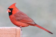 Cardinal On A Feeder Royalty Free Stock Photo