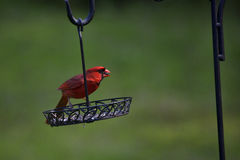 Cardinal at the feeder Stock Image