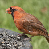 Cardinal Feeding Stock Photography