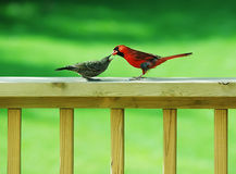 Cardinal Feeding a Wren Royalty Free Stock Photo