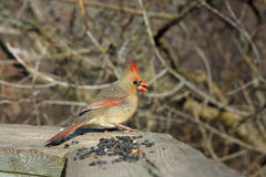 Cardinal Female. On Boardwalk In Sun With Seeds Stock Photo