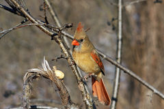 Cardinal Female. Perched On Side Of Tree In Sun Royalty Free Stock Image