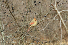 Cardinal Female. Perched On Side Of Tree In Morning Royalty Free Stock Image