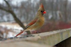 Cardinal Female. Feeding On Seeds On Rail With Seeds stock photos