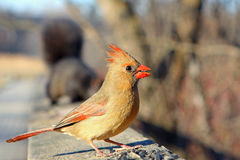 Cardinal Female. On Rail In Sun With Seeds Stock Photography