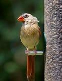 Cardinal Female. A female cardinal (Cardinalis cardinalis) at a bird feeder Royalty Free Stock Images