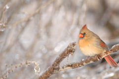 Free Cardinal Female Stock Image - 3969281