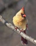 Cardinal Female Stock Photo