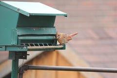 Cardinal-Female (Cardinalis cardinalis) on Feeder Royalty Free Stock Photo