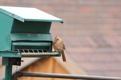 Cardinal-Female (Cardinalis cardinalis) on Feeder Royalty Free Stock Image
