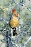 Cardinal - female Royalty Free Stock Image