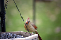 Cardinal Female sitting on feeder Stock Photography