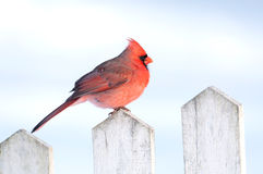 Cardinal on a fence Stock Photo