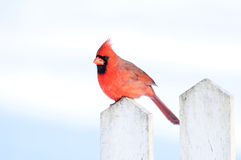 Cardinal on a fence Stock Image