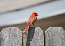 Cardinal on Fence Stock Image