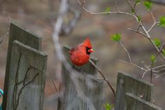 Cardinal on a fence royalty free stock photo